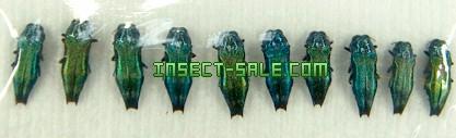 Insect-Sale.com - Agrilus acutus - Agrilus-acutus.jpg ...: https://www.insect-sale.com/photo.asp?photo=Agrilus-acutus