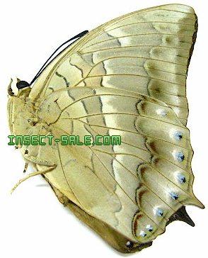 Bộ sưu tập cánh vẩy 4 - Page 20 Charaxes-nitebis-nitebis