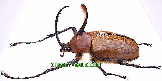 Insect-Sale.com - Golofa eacus - Golofa-eacus.jpg - insect ...