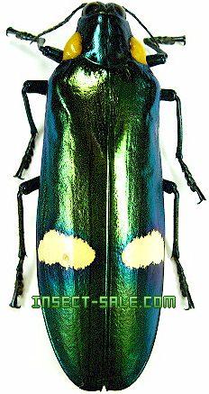 Megaloxantha bicolor
