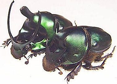 http://www.insect-sale.com/photo/insect_insects_butterfly_butterflies/Onthophagus-mouhoti.jpg