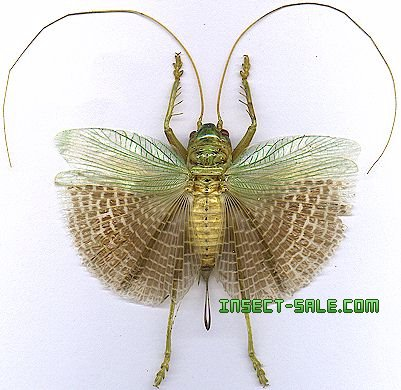 Insect-Sale.com - Orthoptera sp26 - Orthoptera-sp26-mala.jpg