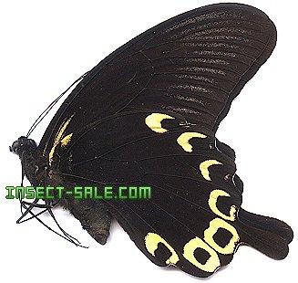 Sưu tập Bộ cánh vẩy 2 - Page 63 Papilio-deiphobus-deiphobus-flava