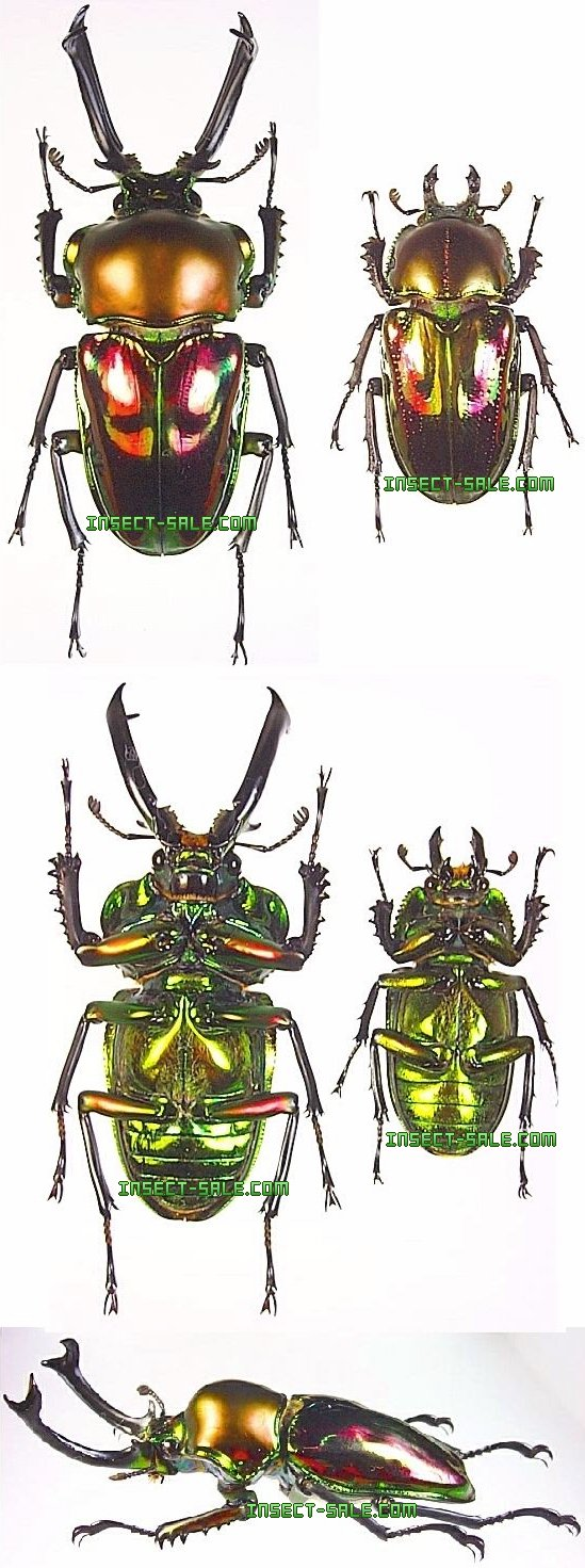 ... 2001 2016 insect sale com all rights reserved http www insect sale com: www.insect-sale.com/photo.asp?photo=Phalacrognathus-muelleri