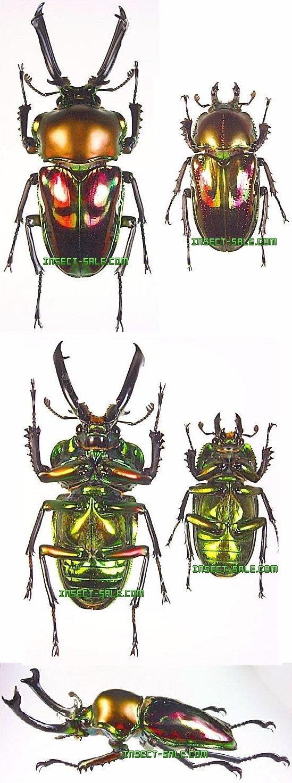 Insect-Sale.com - Phalacrognathus muelleri (Breed)(Rainbow ...