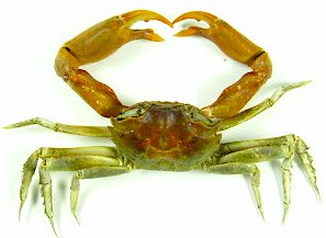 Insect-Sale com - Sand Crab (Red Claw) - Sand-Crab-RED-Claw jpg